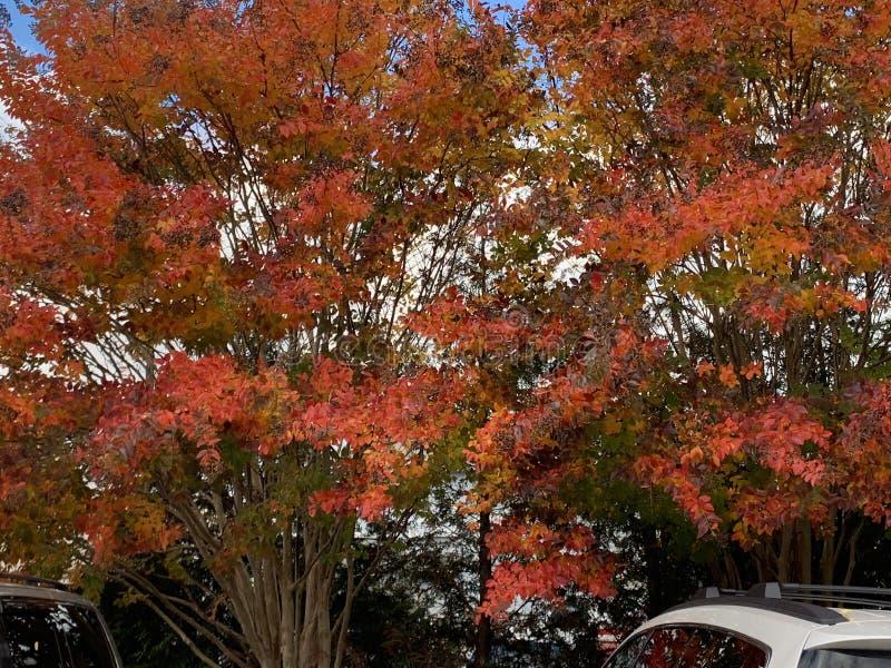 Arbres rouges et roses en automne photos stock