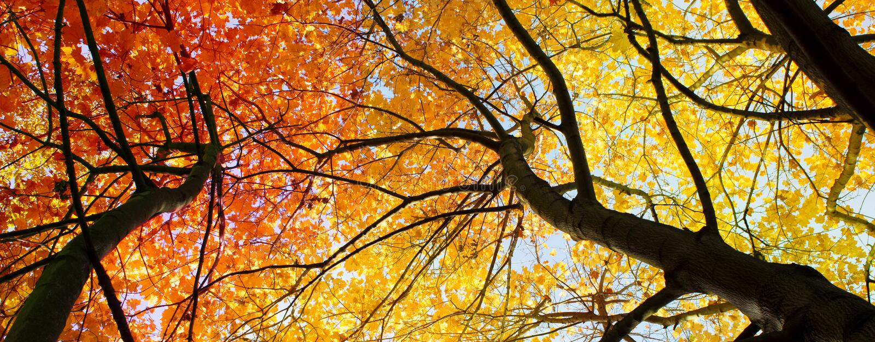 Arbres rouges, fond d'automne - le rouge part photographie stock libre de droits