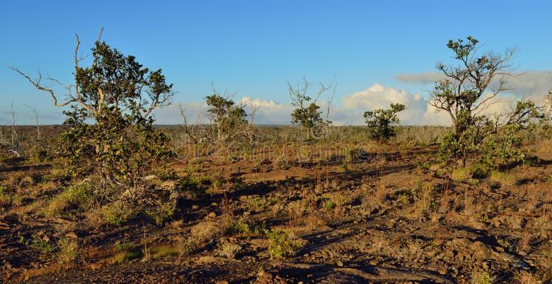 Arbres s'élevant sur la vieille lave en Volcano National Park au coucher du soleil, grande île d'Hawaï images libres de droits