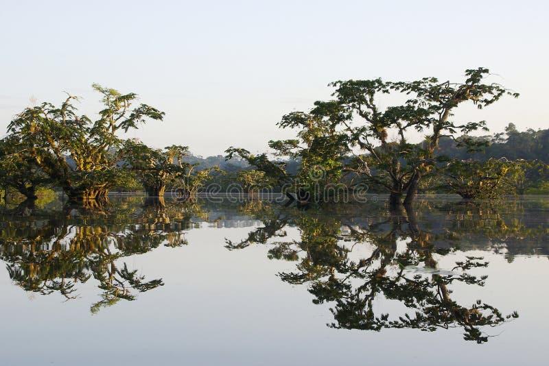Arbres se reflétant dans la lagune du parc national de cuyabeno en Equateur image libre de droits