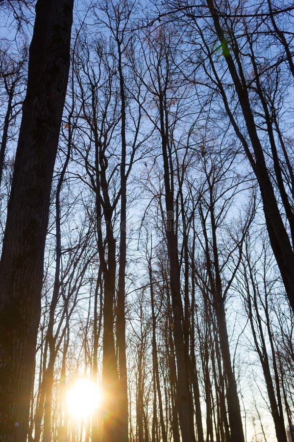 Arbres secs contre le ciel bleu Arbres sans feuilles Forêt images stock