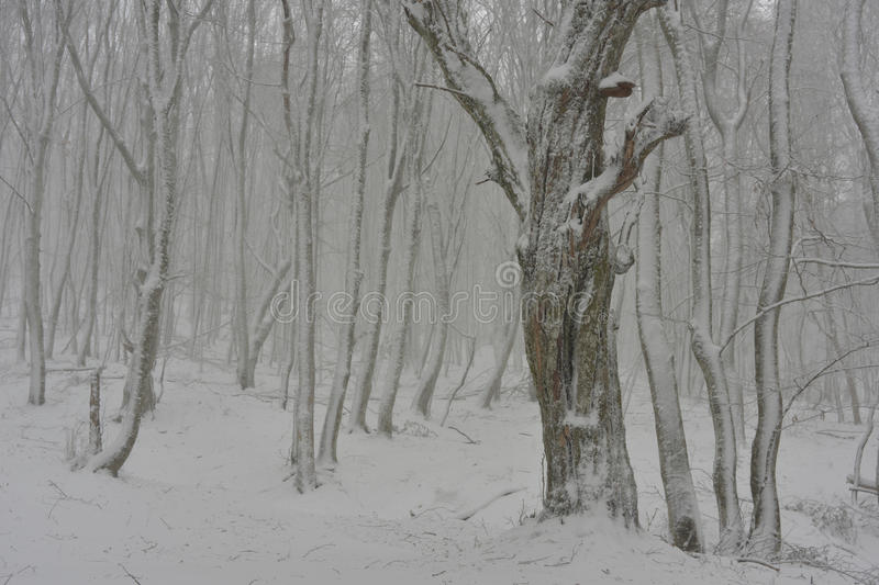 Arbres Snow-covered image stock