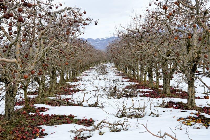arbres taillés d'un champ de pommiers en hiver images libres de droits