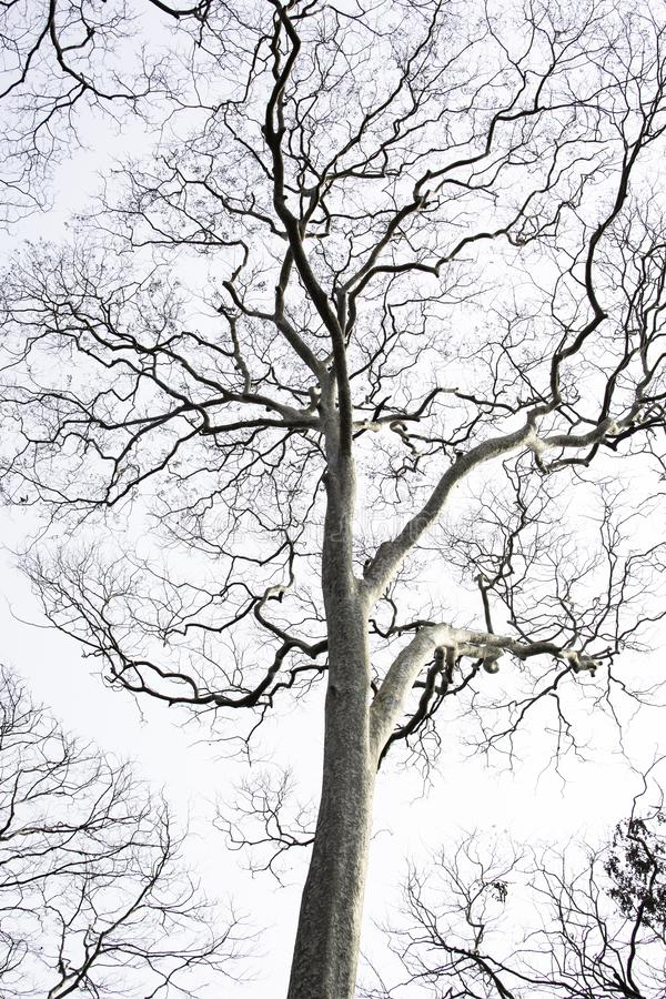 Arbres ?ternels morts avec un fond blanc photos stock