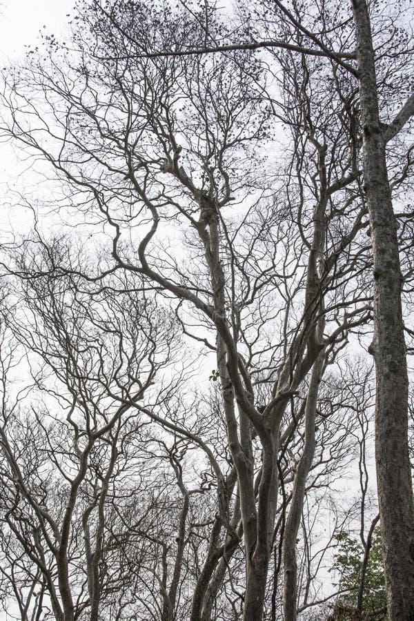 Arbres ?ternels morts avec un fond blanc images libres de droits