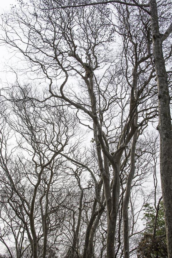Arbres ?ternels morts avec un fond blanc photos libres de droits