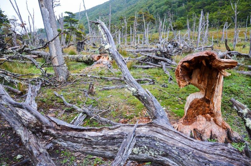 Arbres tombés et les dommages faits par des castors en Dientes de Navarino, Isla Navarino, Chili photo libre de droits