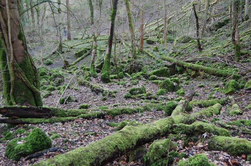 Arbres tombés moussus en bois près de Richmond North Yorkshire image stock