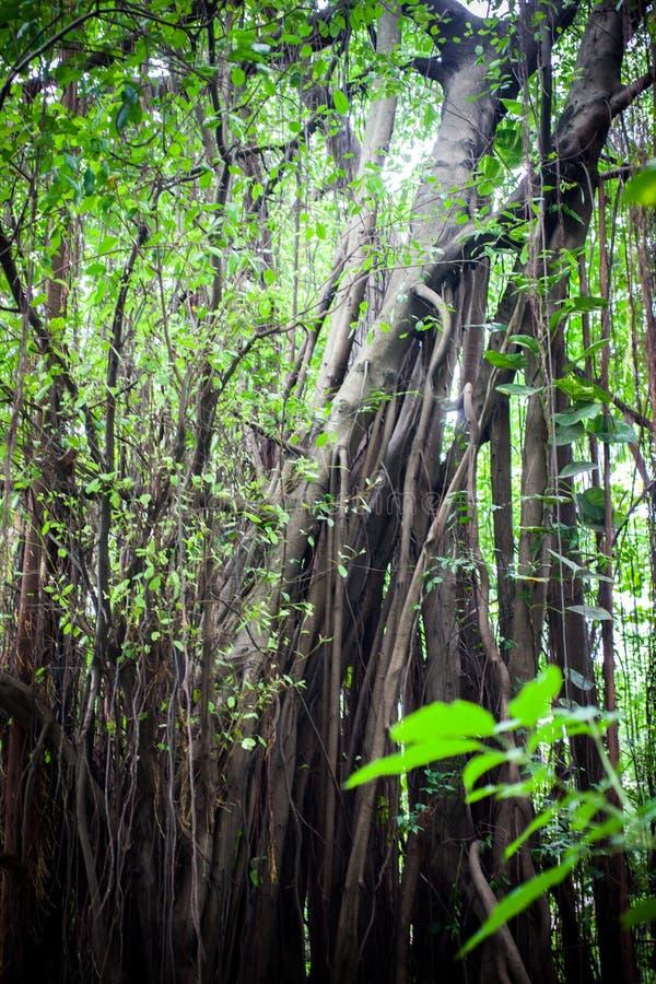 Arbres tropicaux de forêt de jungle en Asie Beau image libre de droits