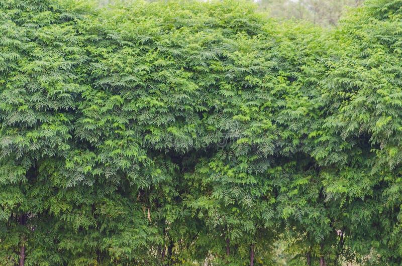 Arbres verts d'azedarach de Melia photographie stock
