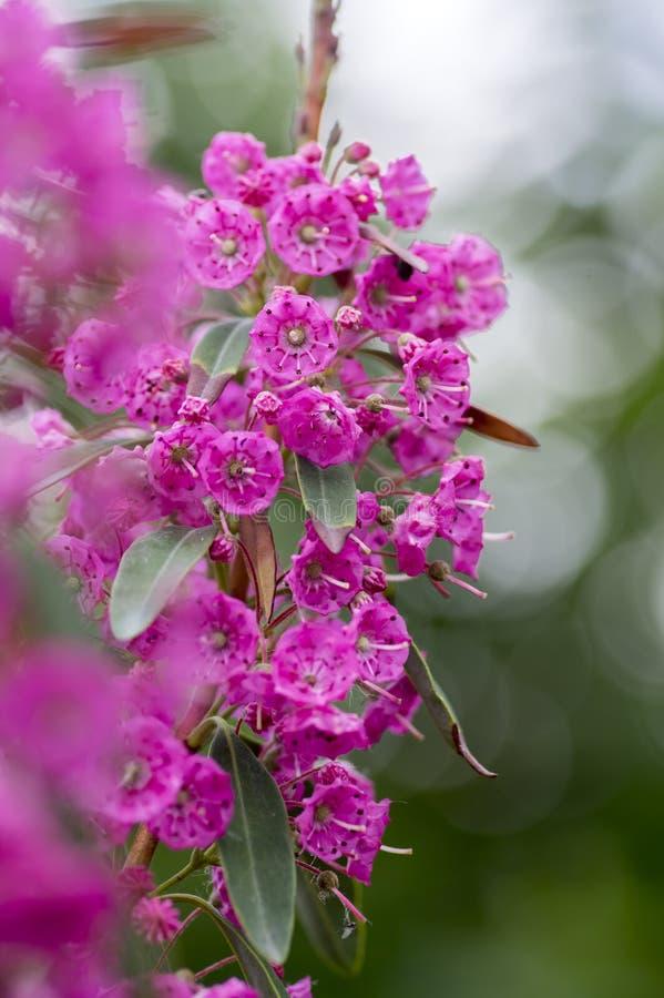 Arbuste à feuilles persistantes de rubra d'angustifolia de Kalmia, belle usine fleurissante pourpre images libres de droits