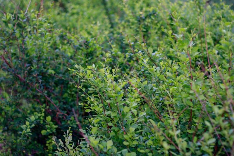Arbuste avec de jeunes feuilles images stock