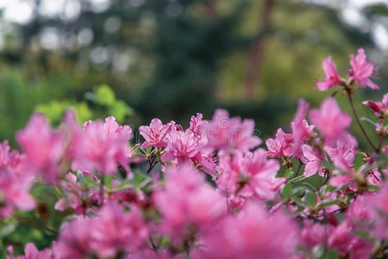 Arbuste avec le jardin rose de fleurs au printemps, le beau fond floral naturel et la texture photographie stock