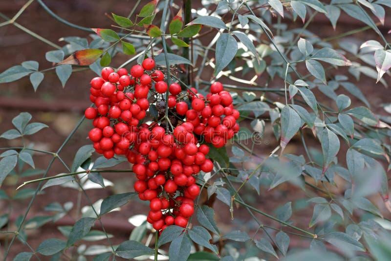 arbuste avec les baies rouges photo stock image du macro beaut 38376248. Black Bedroom Furniture Sets. Home Design Ideas