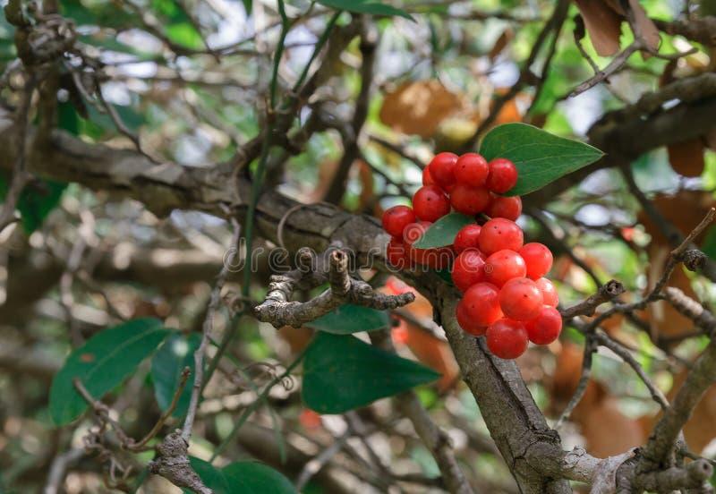 Arbuste boules rouges les arbustes baies qui se mangent with arbuste boules rouges beautiful - Arbuste avec boule rouge ...