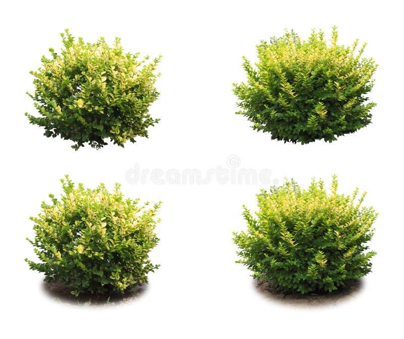 Arbuste décoratif image stock