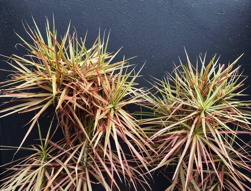 Arbuste décoratif de Spinifex avec des feuilles de Spikey image libre de droits