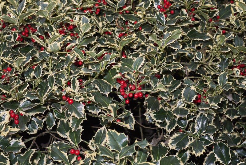 Arbuste d'aquifolium d'Ilex avec les baies rouges photographie stock libre de droits