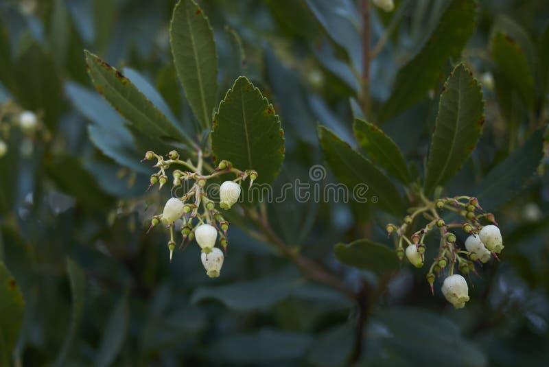 Arbuste d'unedo d'Arbutus photos stock