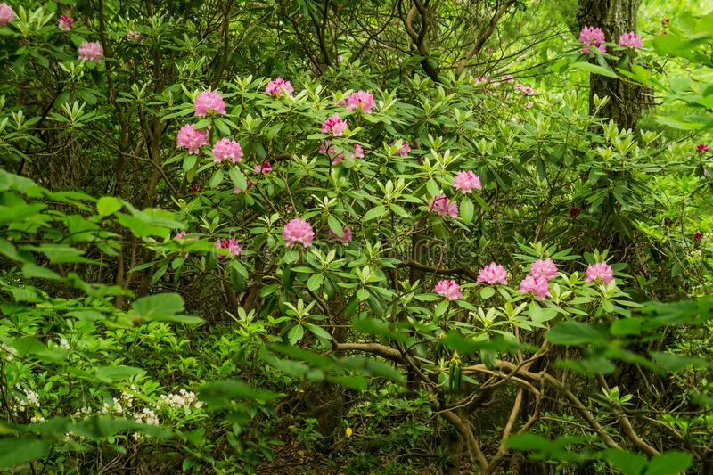 Arbuste de rhododendron de Catawba photo stock