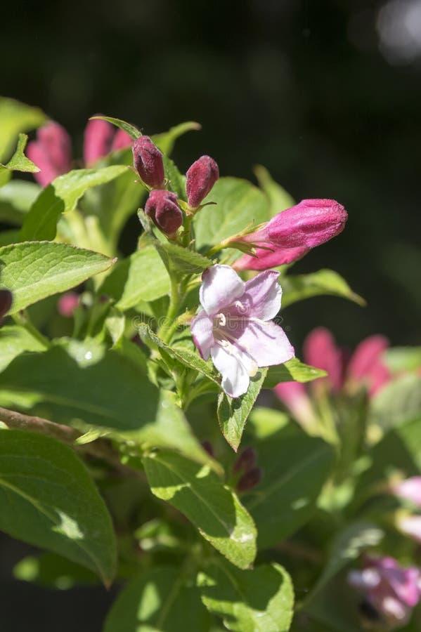 Arbuste de Weigela avec blanc et pâle - fleurs roses sur des branches image stock