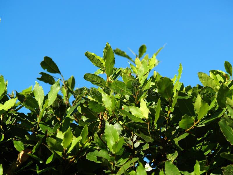 Arbuste dense de laurier photos stock