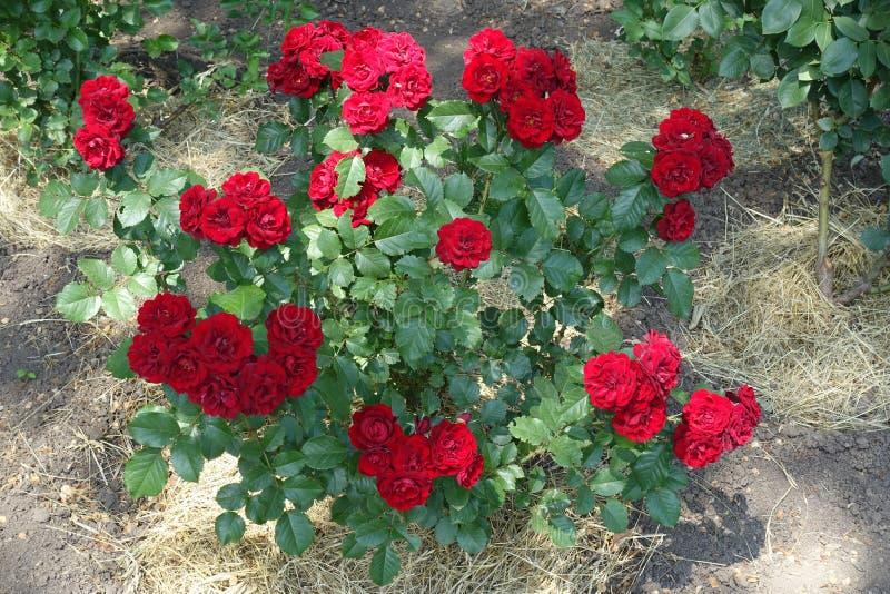 Arbuste des roses rouges en fleur I juin photo libre de droits