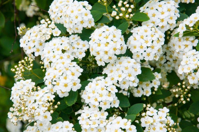 Arbuste fleurissant photographie stock
