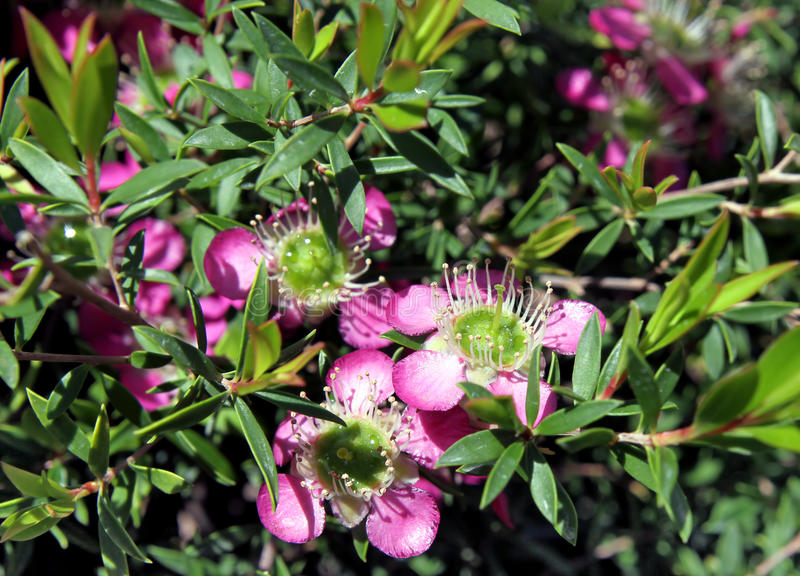 Arbuste ornemental leptospermum image stock image du for Arbuste ornemental