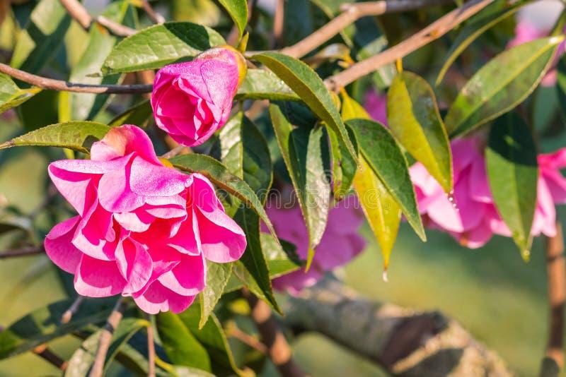 Arbuste rose de camélia avec des fleurs et des bourgeons images stock