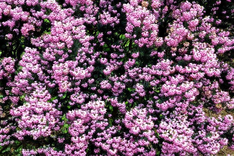 Arbuste rose de floraison de bruyère image libre de droits