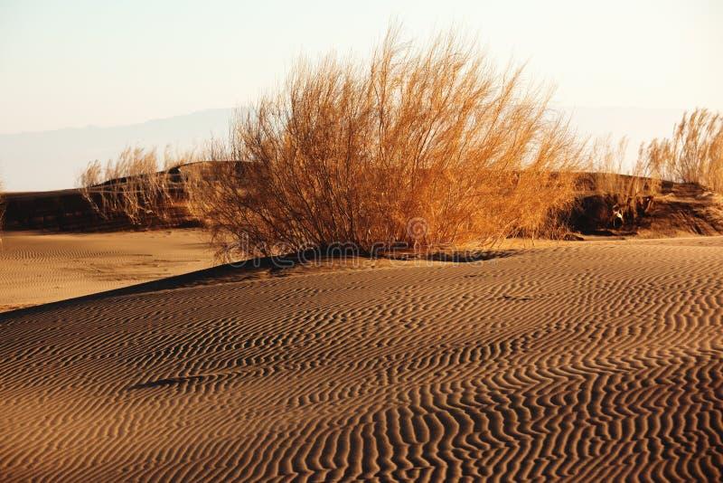 Arbuste Saxaul (Haloxylon) dans le désert de sable photographie stock