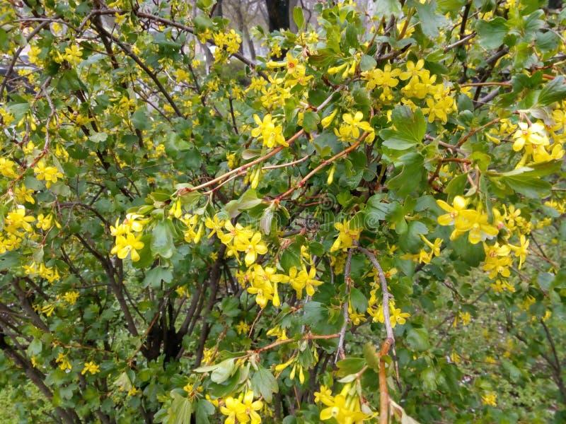 Arbuste vert avec de petites fleurs jaunes photo stock - Arbuste a fleurs jaunes ...