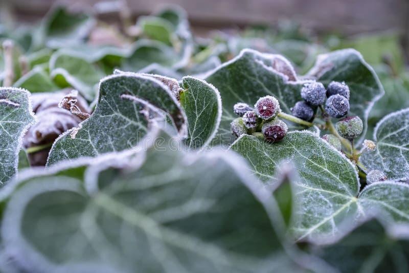 Arbuste vert couvert de cristaux de gelée un matin givré, sur le fond brouillé photos stock