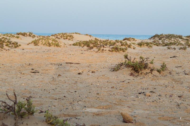 Arbustes dans les plages immaculées image libre de droits