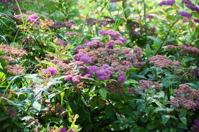 Arbustes fleurissants pourpres Fleurs d'?t? photos stock