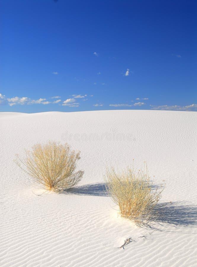 Arbustes s'élevant dans les dunes de sable blanches images libres de droits