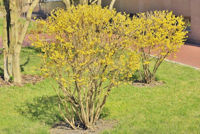 arbusti da fiore di forsythia fotografia stock immagine
