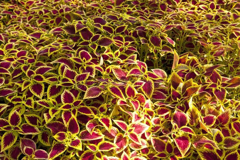Arbusti ornamentali fotografia stock immagine di for Arbusti ornamentali