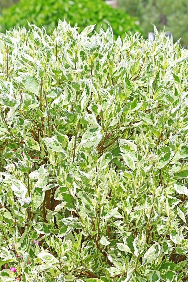 Arbusti ornamentali bianchi di derain cornina alba for Arbusti ornamentali
