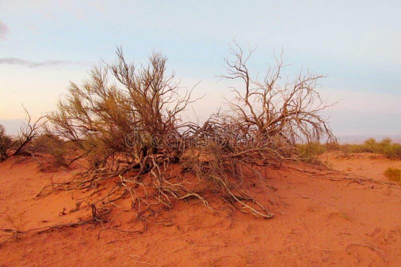 Arbusto árido do deserto imagens de stock