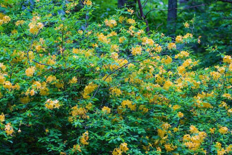 Arbusto amarelo das azáleas da chama fotos de stock