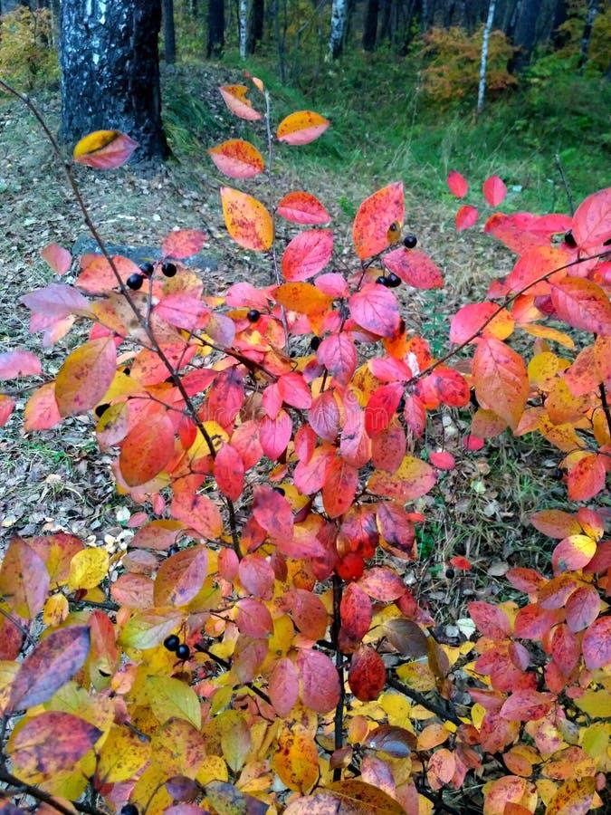 Arbusto amarelo-vermelho do outono de bagas do lobo fotos de stock