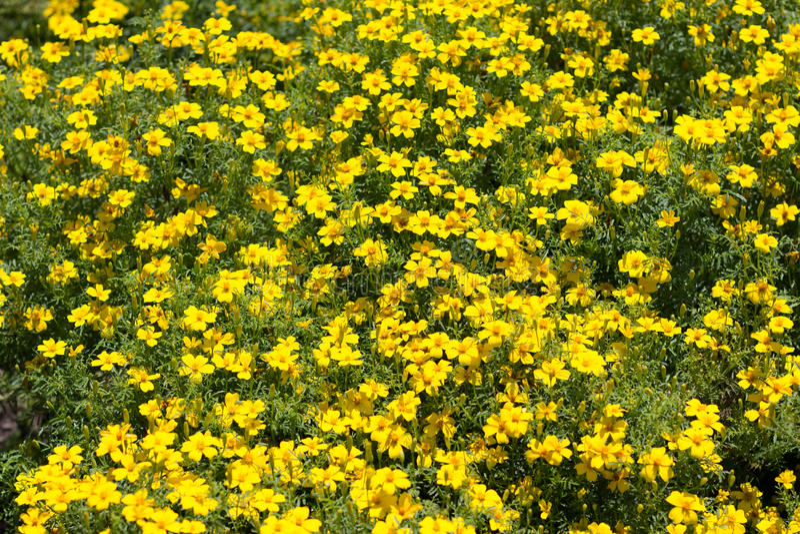 arbusto amarillo de la flor mucho la primavera amarilla. Black Bedroom Furniture Sets. Home Design Ideas