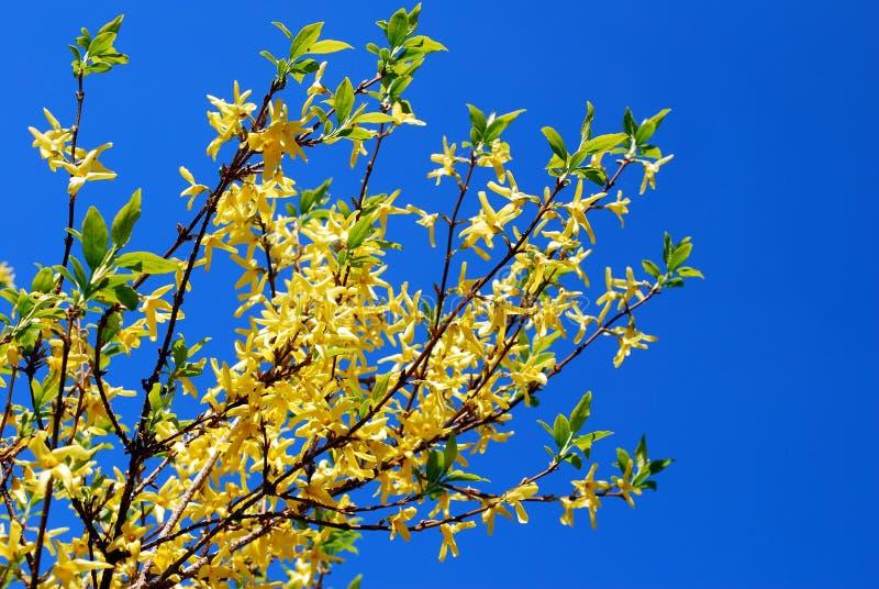 Arbusto amarillo de la forsythia delante del cielo azul imagenes de archivo