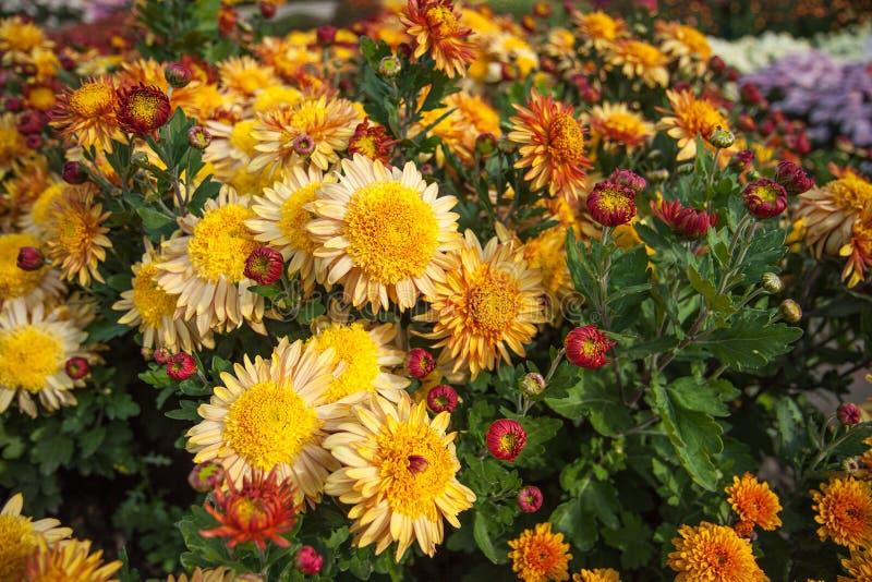 Arbusto amarillo y rojo del crisantemo Plantas de jardín del otoño Fondo brillante de las flores imagenes de archivo