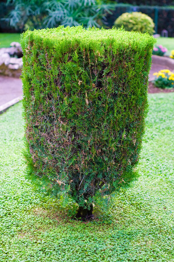 Arbusto aparado Topiary imagens de stock royalty free