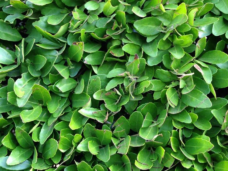 Arbusto, ascendente cercano del árbol de hoja perenne imagen de archivo