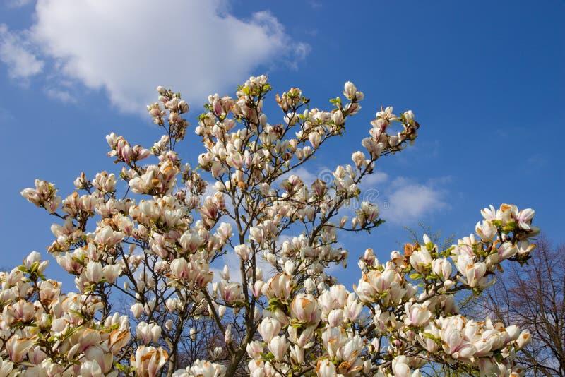 Arbusto blanco de la magnolia imagen de archivo libre de regalías