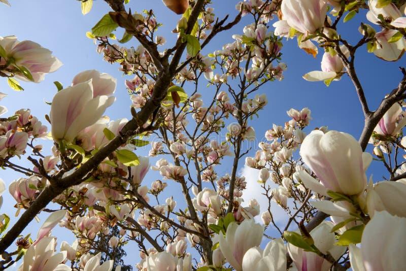 Arbusto blanco de la magnolia foto de archivo libre de regalías